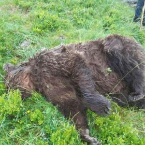 Un Ours tué en Ariège - Plus jamais ça !